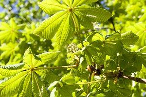 leaves of chestnut