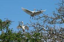 Pair of Cattle Egret flying
