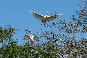 Pair of Cattle Egret flying