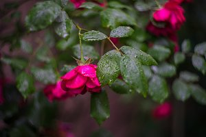Garden roses summer background
