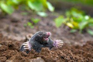 Mole in the ground