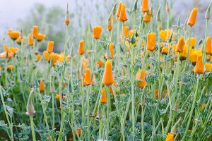 Flowers of yellow poppies.