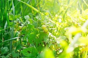 Fresh green gooseberries on a branch of gooseberry bush with sunlight.