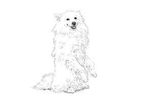 Drawing of spitz dog standing