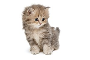 Small, funny kitten  British