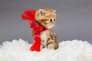 Kitten in a red scarf