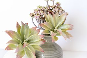 Stock Photo- 2 Succulents vertical
