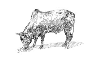 Drawing of bull eating grass