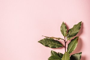 laurel branch on pink background