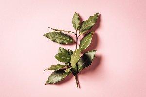 laurel branch on pink background