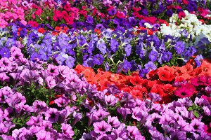 Red and purple flower background
