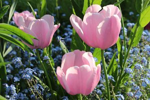 Pink Tulips and Forget-me-not