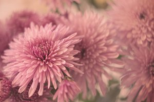 Pink Chrysanthemums.