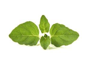 Oregano or marjoram leaves on white background