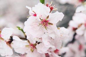 Almondsflowers.