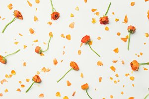 Flat-lay of orange buttercup flowers over white background, wide composition
