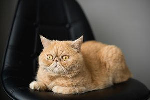 Cute fluffy exotic shorthair cat