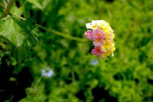 Lantana blossom in the garden