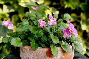 Small pink flowers on pot