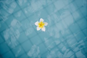 flower plumeria swim in blue water.