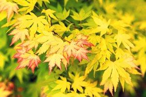 Maple foliage.