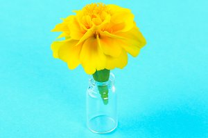 Yellow flower marigold on a pastel blue background.