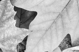 Leaves Background in Black and White