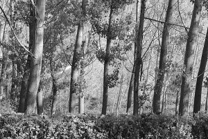 Trees Background in Black and White