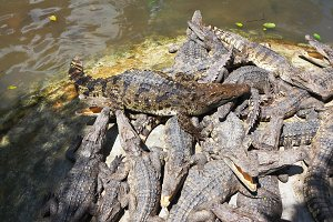 The herd of crocodiles