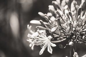 Flowers and buds of African lily