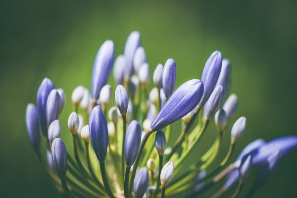 Nature Stock Photos: Visual Motiv - Pre-bloom flower of African lily