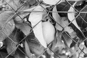 Lemon Tree Detail in Black and White