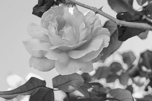 Rose  in a Black White Background