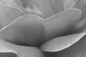 Rose Background in Black and White