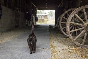 Farm Cat in Barn