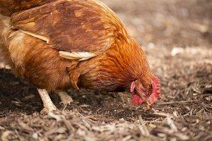 Chicken on the farm