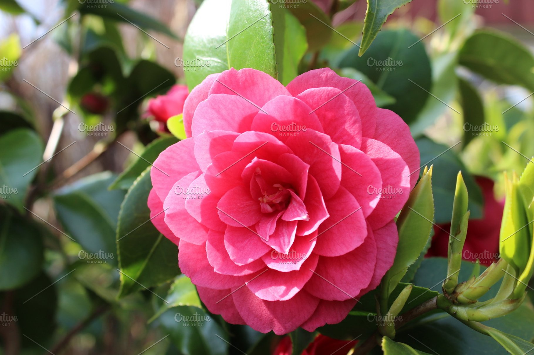 Pink Camellia Flowers High Quality Stock Photos Creative Market