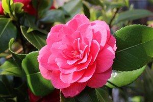 Pink flower camellia japonica