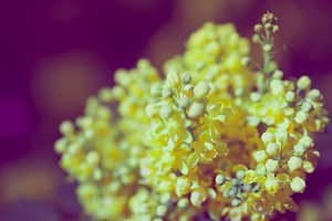 Mahonia aquifolium flower close up