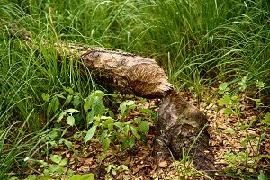 Beaver gnawed tree