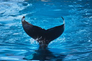 Killer whale fin splashing