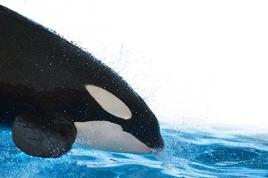 Killer whale on white isolated