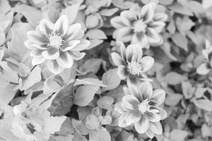 Chinese Carnation in Black and White