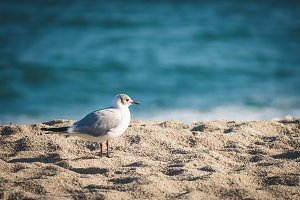 Mediterranean gull on the beach sand