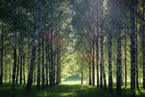 Summer landscape photography of birch forest in beautiful sunlight. Green trees growing in lush grass meadow, outdoor nature ecology concept