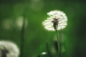 Dandelion with seeds growing in the meadow at sunset sunlight, summer landscape photography, natural background, ecology and nature concept