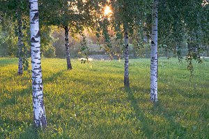 Summer landscape photography of birch forest in sunset sunlight with beautiful shadows. Green trees growing in lush grass meadow, outdoor nature ecology concept