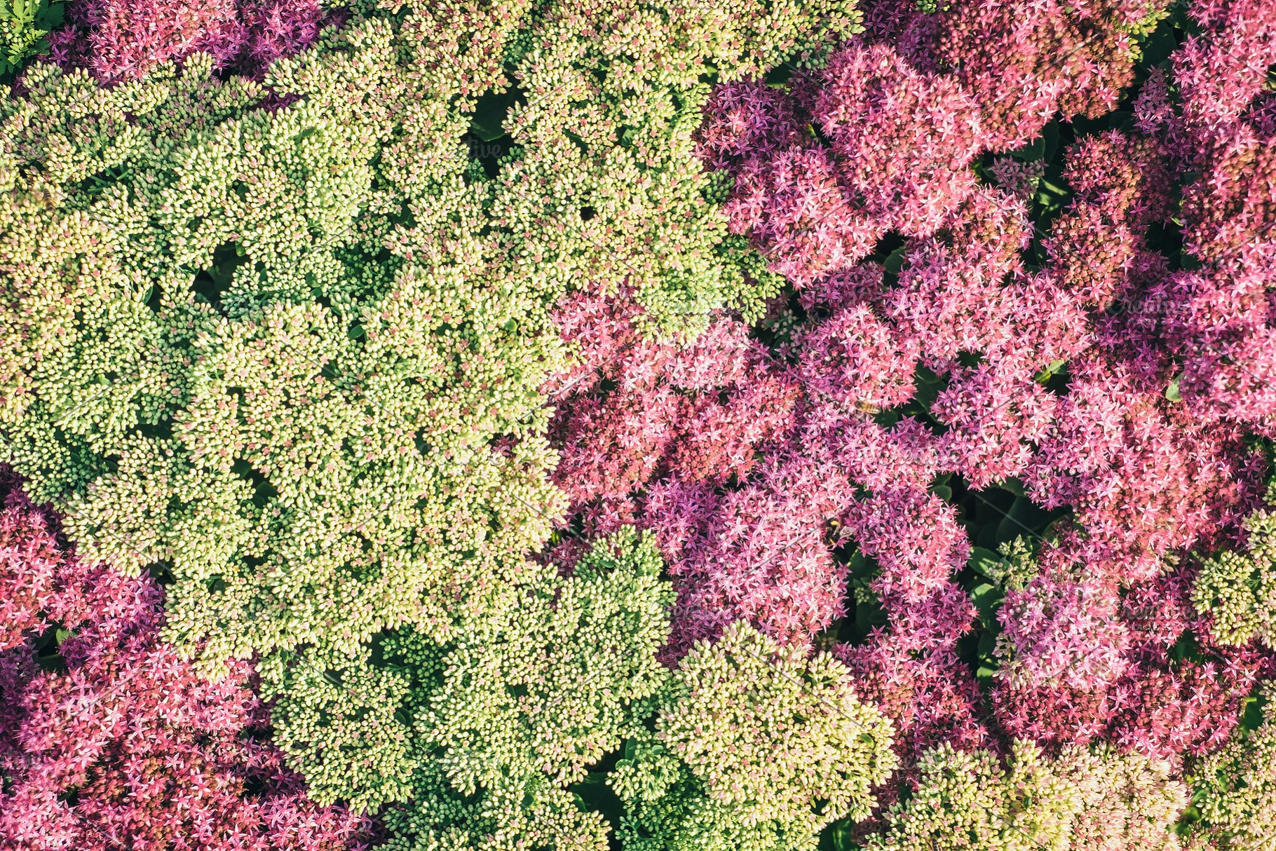 Fresh Spring Or Summer Background With Bush Blooming With Pink And