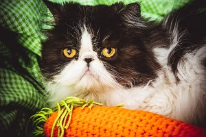 Funny Persian cat with angry face
