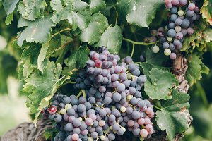 Ripe grapes on a branch